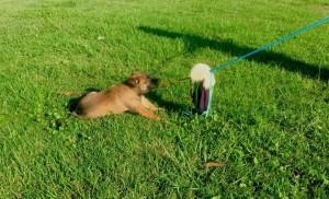 Blaze on the puppy flirt pole