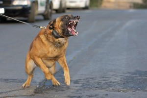 Without the right training and management Malinois can become out of control and dangerous.