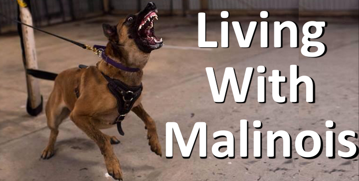 Living with Malinois, dog behaviour