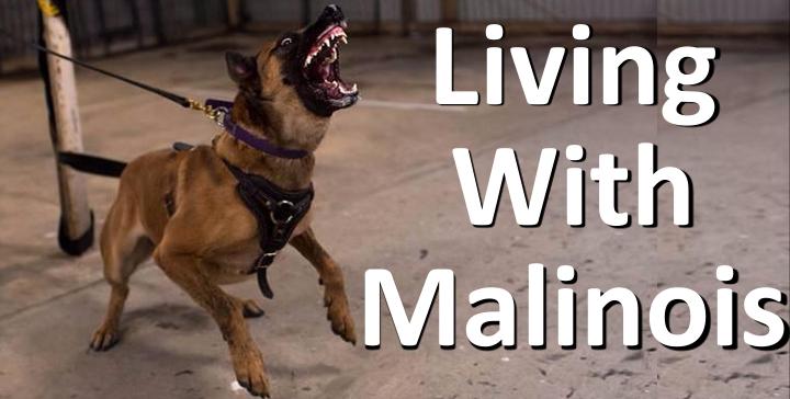 Living with Malinois, dog behaviour