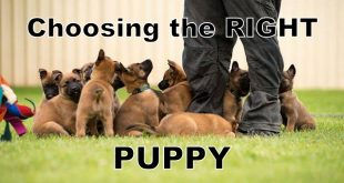 Choosing the right puppy